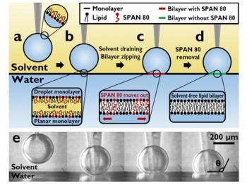 연구진이 개발한 안정적인 대면적 인공세포막 제작 과정. 계면활성제를 이용해 물방울과 표면의 물이 완전히 합쳐지지 않도록 처리해 이중막 구조를 만들었다. - KAIST 제공